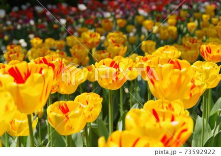咲き誇るチューリップ(モンセラ) 73592922