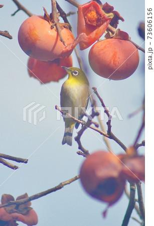 柿の木で佇むメジロ 和歌山県海南市下津町 73606156