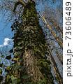 イチョウの木にツタが絡んだ秋の風景イラスト 73606489