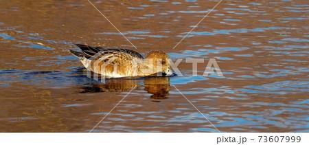 黄葉映す水面をのんびりと泳ぐヒドリガモメス 73607999