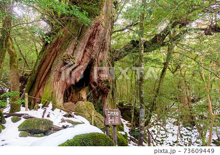 巨大屋久杉二代大杉。屋久島白谷雲水峡の森 73609449