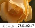 バラの花クローズアップ 73610217