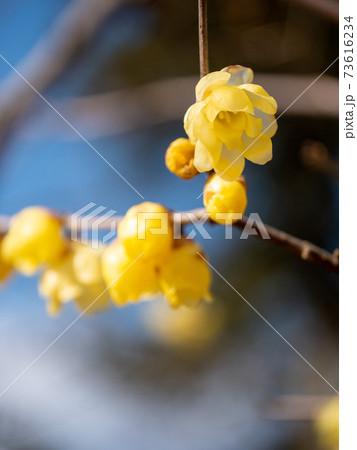 樹の下から1月冬空のロウバイ(縦撮) 73616234