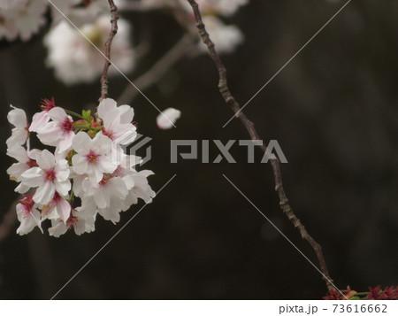 枝垂れるサクラの花の房と舞う花びら 73616662