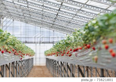 ビニールハウスで栽培されているいちごのイメージ(紅ほっぺ・1月) 73621801