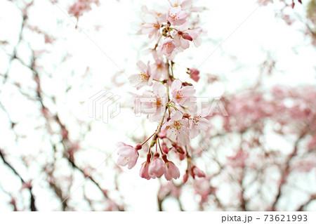 【東京】春の六義園 寒空に映えるしだれ桜のアップ 73621993