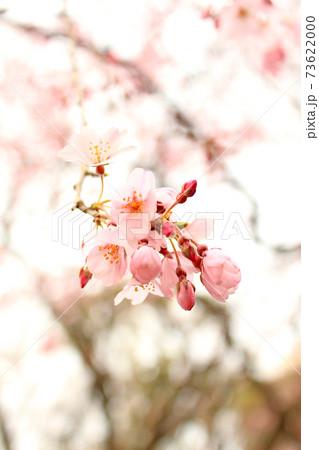 【東京】春の六義園 可憐なしだれ桜のアップ 73622000