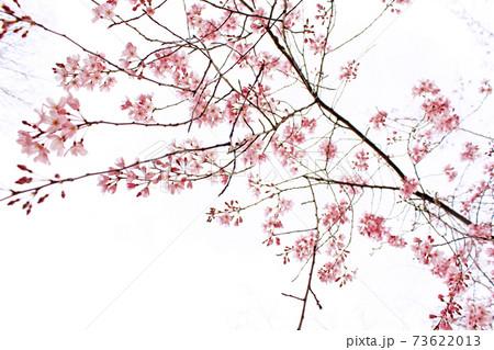 【東京】春の六義園 真っ白な寒空に映える鮮やかなしだれ桜 73622013