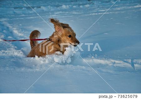 雪の中駆け回るミニチュアダックスフント 73625079