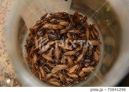 トラップにかかった多数のゴキブリ 73641296