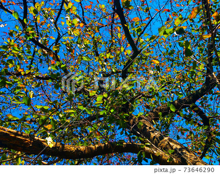青空一面に広がる樹木の葉がオレンジ色に色付き始めた初秋の風景 73646290