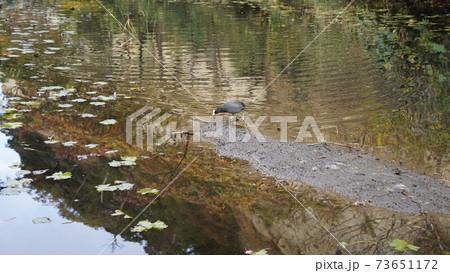 横浜、本牧市民公園内の池のオオバン 73651172