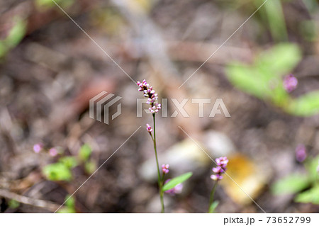 日本の道端に咲いているイヌタデの花 73652799