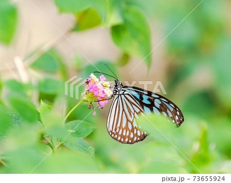 花の蜜を吸うかわいい蝶々 リュウキュウアサギマダラ 73655924