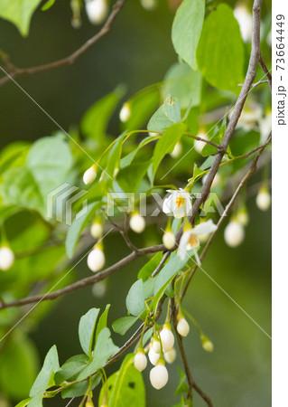 初夏には満開に咲く星形の可憐な花 エゴノキ 73664449