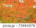 秋 色づくモミジの葉 73664978