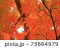 秋 色づくモミジの葉 73664979