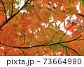 秋 色づくモミジの葉 73664980