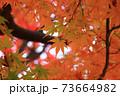 秋 色づくモミジの葉 73664982