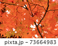 秋 色づくモミジの葉 73664983