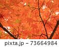 秋 色づくモミジの葉 73664984