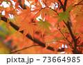 秋 色づくモミジの葉 73664985