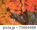 秋 色づくモミジの葉 73664986