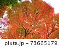 秋 色づくモミジ 73665179
