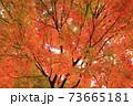 秋 色づくモミジ 73665181