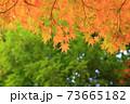 秋 色づくモミジ 73665182
