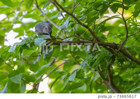 賑やかで目立つために日本では身近でも海外では珍鳥のヒヨドリ 73665617