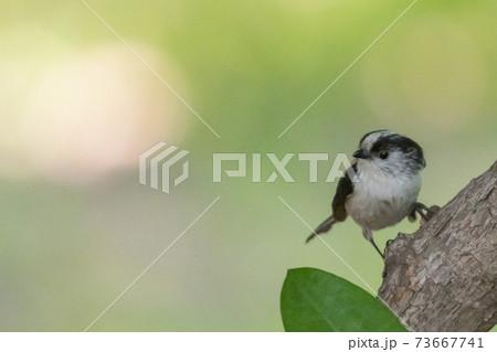 愛くるしい仕草の小さな白い鳥 エナガ 73667741