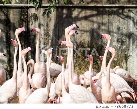 賑やかできれいなピンクフラミンゴの群れ 73669773