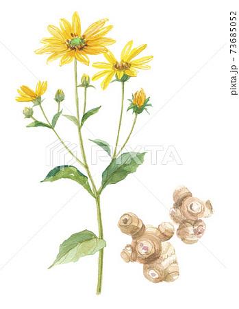 菊芋 キクイモ 花と塊茎 73685052