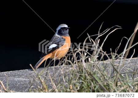 冬の枯草の横のアスファルトに佇むジョウビタキ雄の風景 73687072