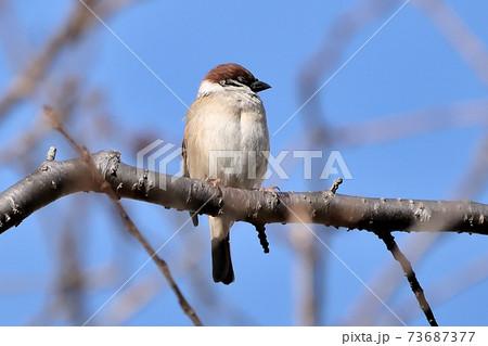 青空を背景にして少し眠そうに木の枝にとまっているスズメのかわいらしい風景 73687377
