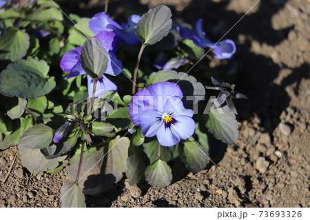 冬の花壇に咲く薄紫色のビオラの花 73693326