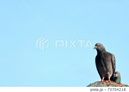 鳩のアピール待ち 73704218