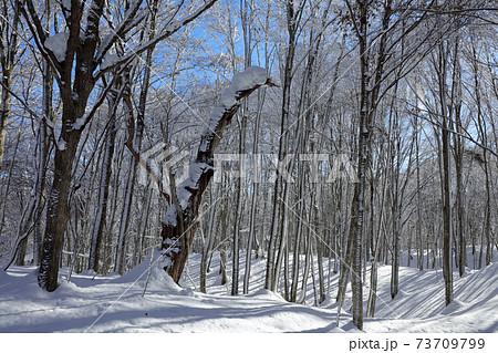 厳冬のブナの森、冬晴れの青空-癒しの森 福島県只見町 73709799