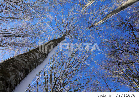 青空に映えるブナの森で梢を見上げる-福島県只見町 73711676