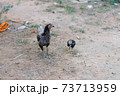 Livestock chicken in the countryside, animal in the rural place 73713959