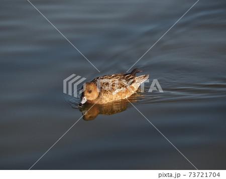 池の上を滑るように泳ぐメスのヒドリガモ 73721704