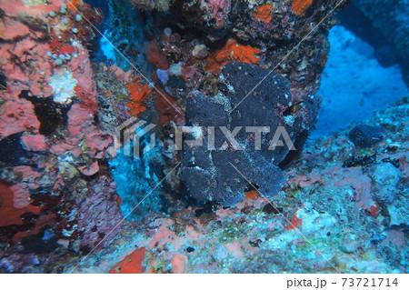 オオモンカエルアンコウ 沖縄の海 73721714