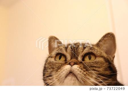 目を見開いて集中している鼻ぺちゃ猫のアメリカンショートヘアブラウンタビー 73722049