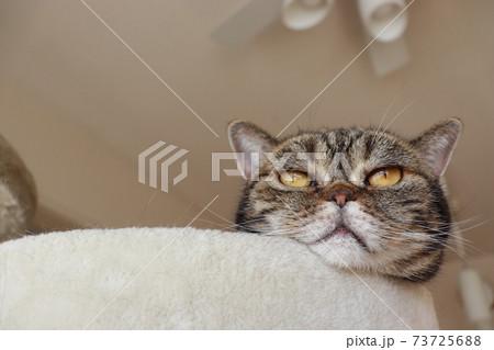 猫ベッドから顔を出している猫アメリカンショートヘアブラウンタビー 73725688