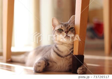椅子の脚にどや顔で頬擦りする猫のアメリカンショートヘアブルータビー 73726517