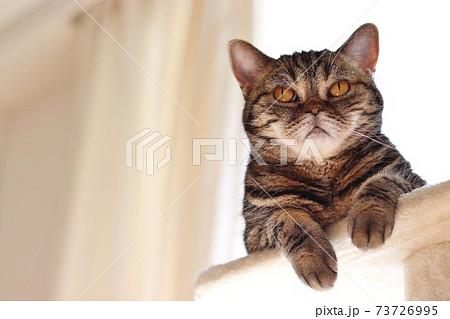 怖い顔で目を見開く猫のアメリカンショートヘアブラウンタビー 73726995