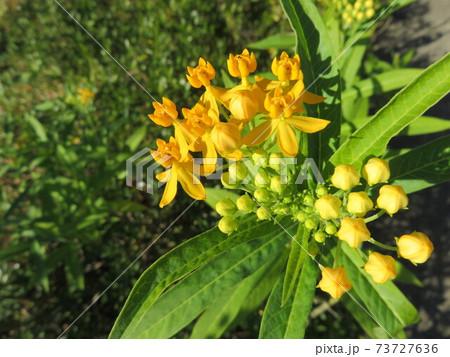 黄色い花(アスクレピアス・ツベロサ) 73727636