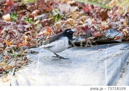 晩秋の畑で餌を啄ばむセグロセキレイ 11月東京 73728109
