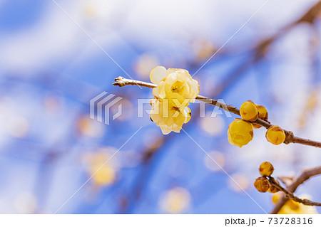 ロウバイの花 マクロ 73728316